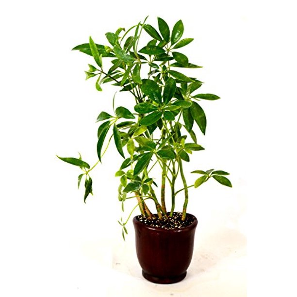 Umbrella Plant for Indoor Gardening