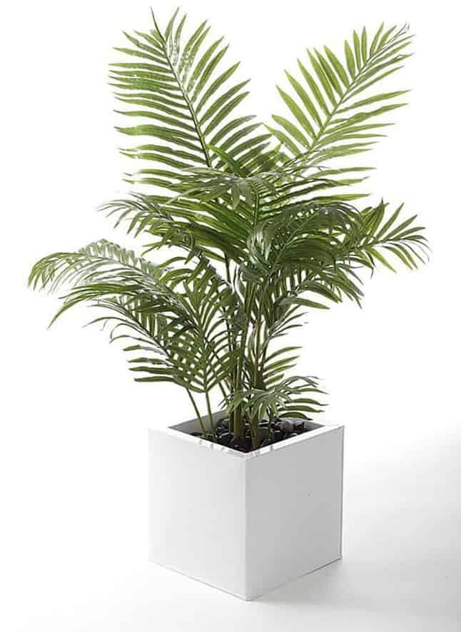Areca Palm - Types of Indoor Palm Plant