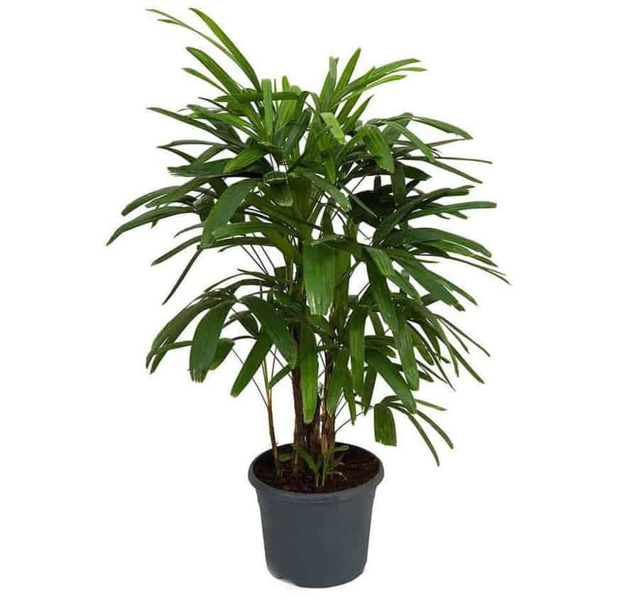 Lady Palm - Types of Indoor Palm Plant