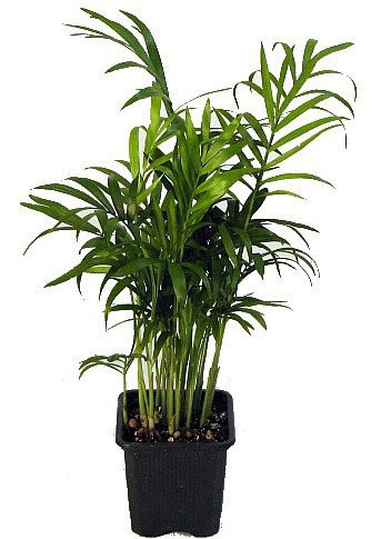 Parlor Palm - Types of Indoor Palm Plant