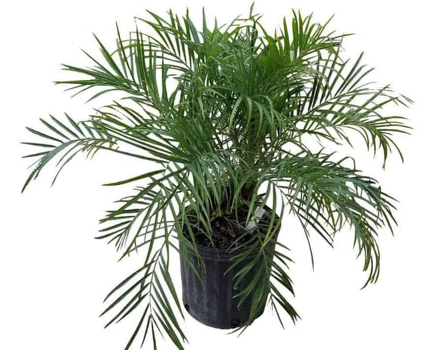 Pigmy Date Palm - Types of Indoor Palm Plant