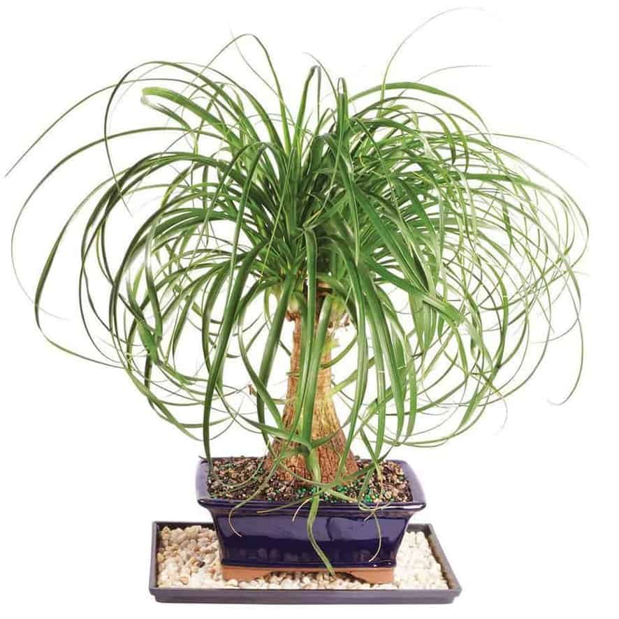 Ponytail Palm - Types of Indoor Palm Plant