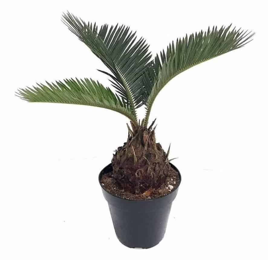 Sago Palm - Types of Indoor Palm Plant