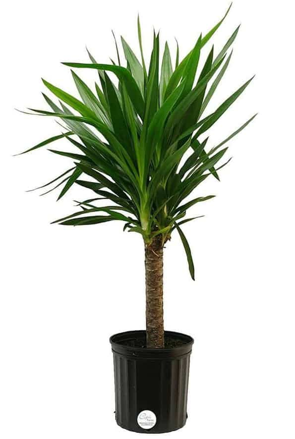Yucca Palm - Types of Indoor Palm Plant