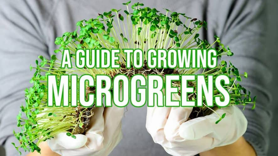 A Guide to Growing Microgreens