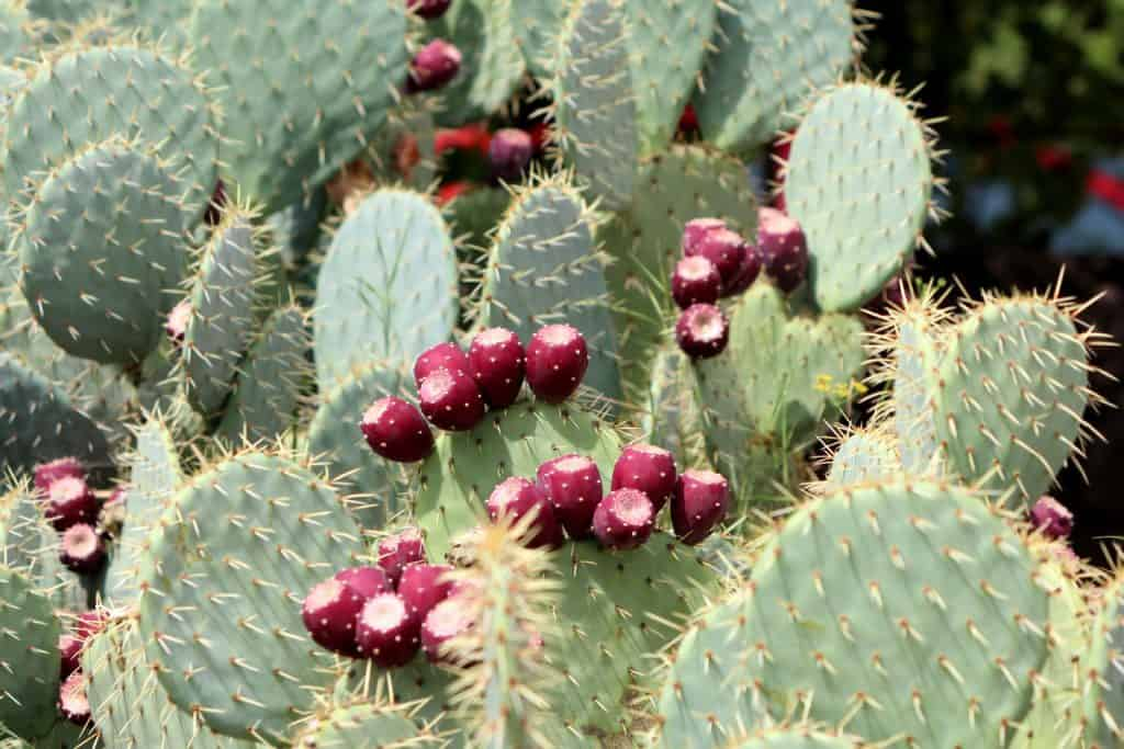 Barbary Fig Cactus