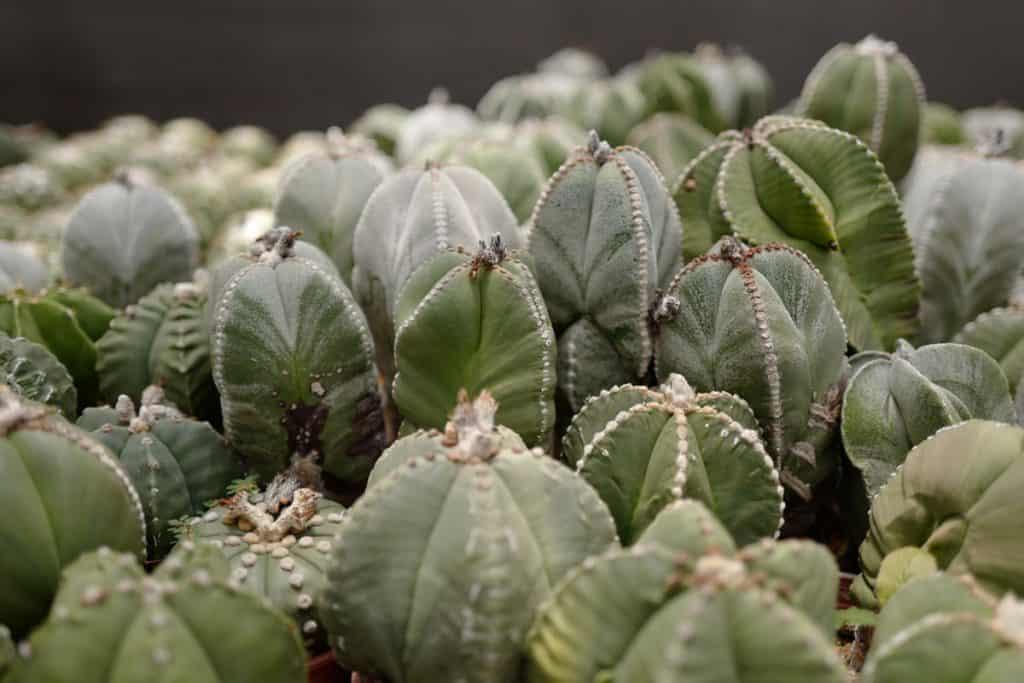 Bishop's Cap Cactus (Astrophytum myriostigma)