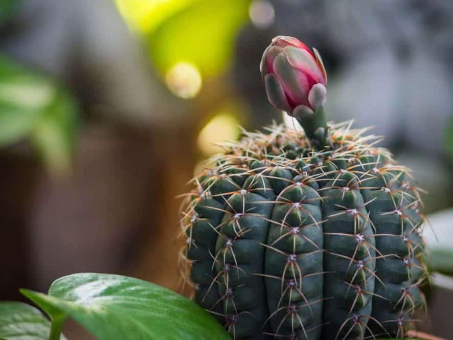 Chin Cactus (Gymnocalycium baldianum)