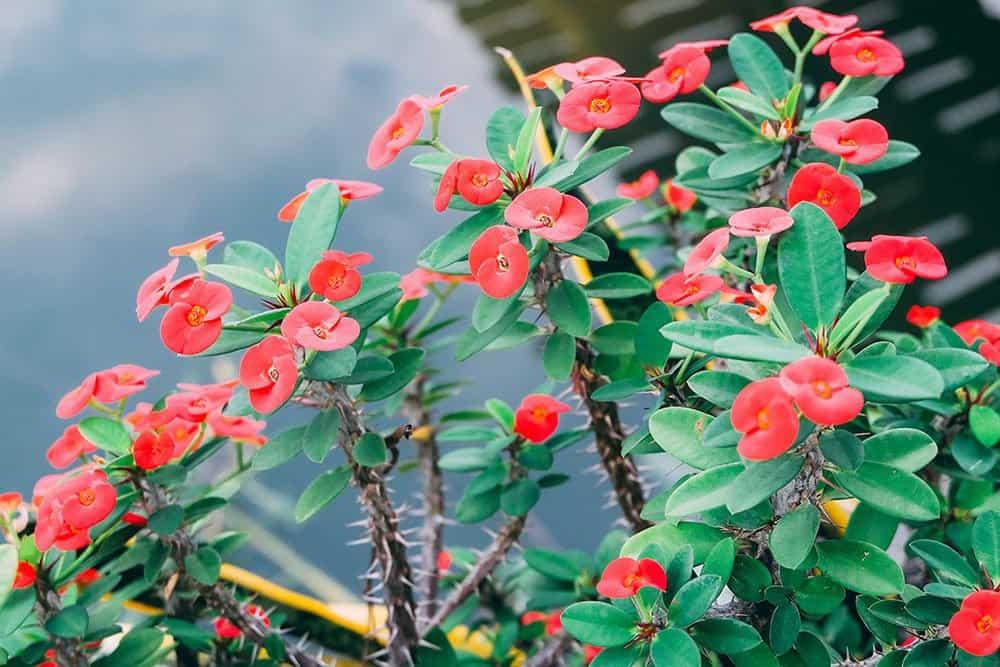 Crown of Thorns Succulent for Indoor Garden