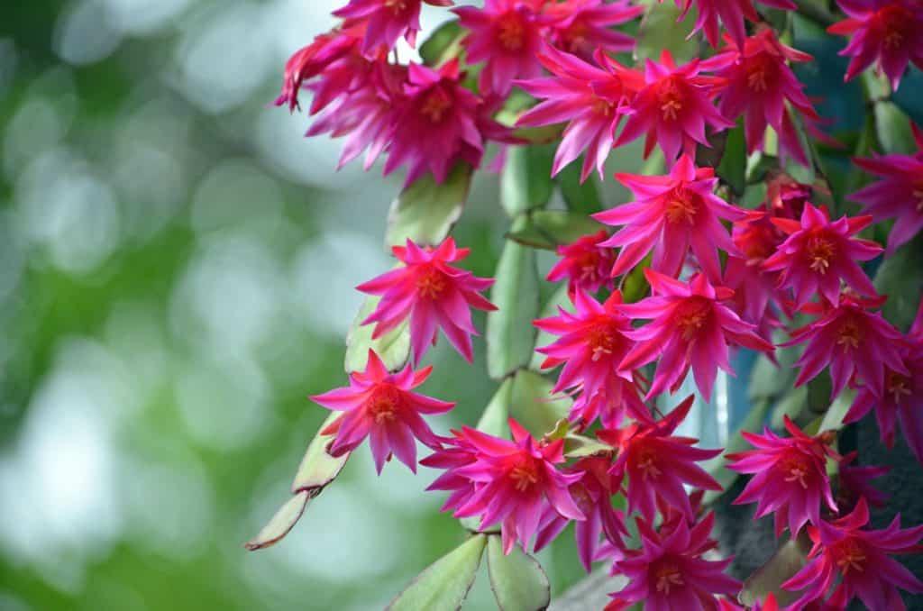 Easter Cactus (Hatiora gaertneri)