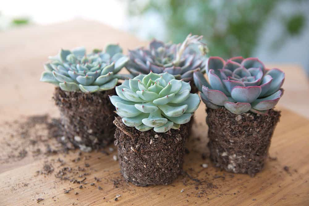 Echeveria Glauca Succulent for Indoor Garden