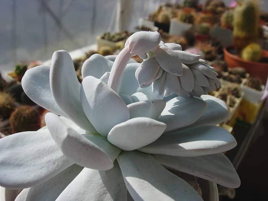Echeveria Laui Succulent for Indoor Garden