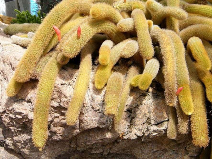 Golden Rat Tail (Cleistocactus winteri)