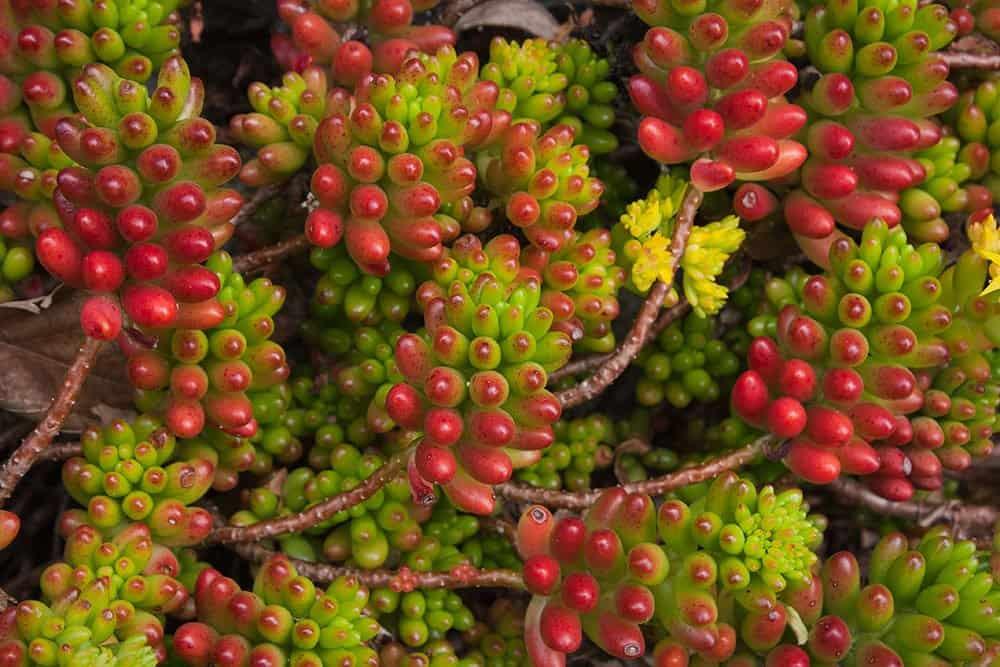 Jelly Bean Plant Succulent for Indoor Garden