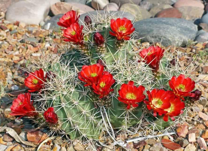 Kingcup cactus (Echinocereus triglochidiatus)