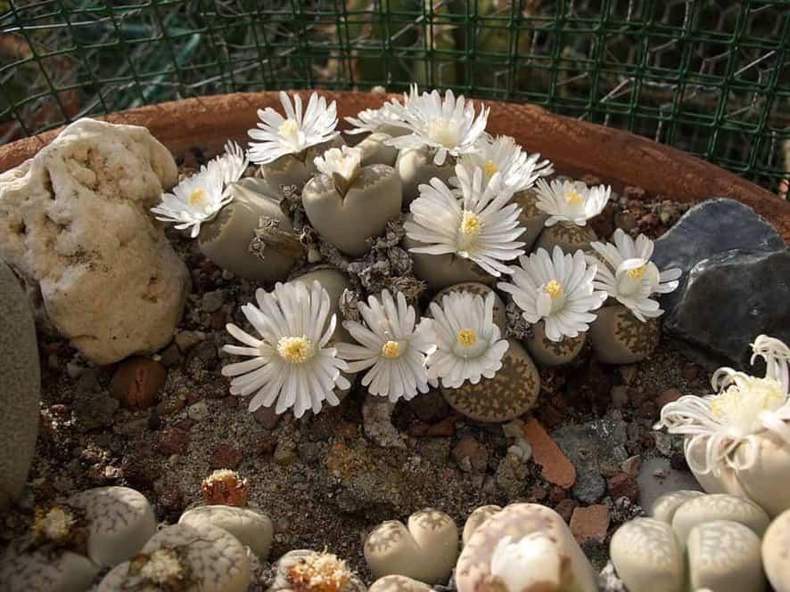 Living Stone Succulent for Indoor Garden