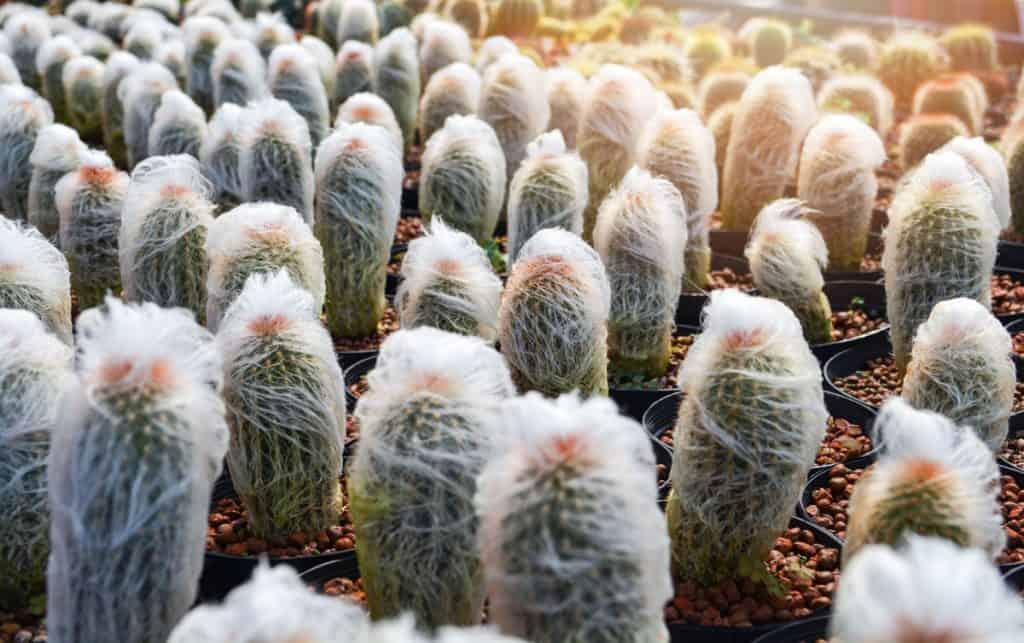 Old Man Cactus (Cephalocereus senilis)