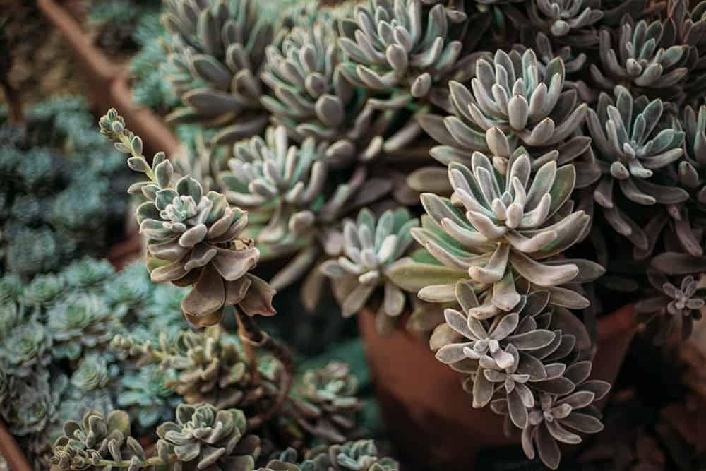 Plush Plant Succulent for Indoor Garden