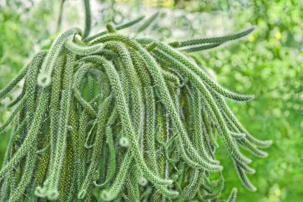 Rat Tail Cactus (Aporocactus flagelliformis)