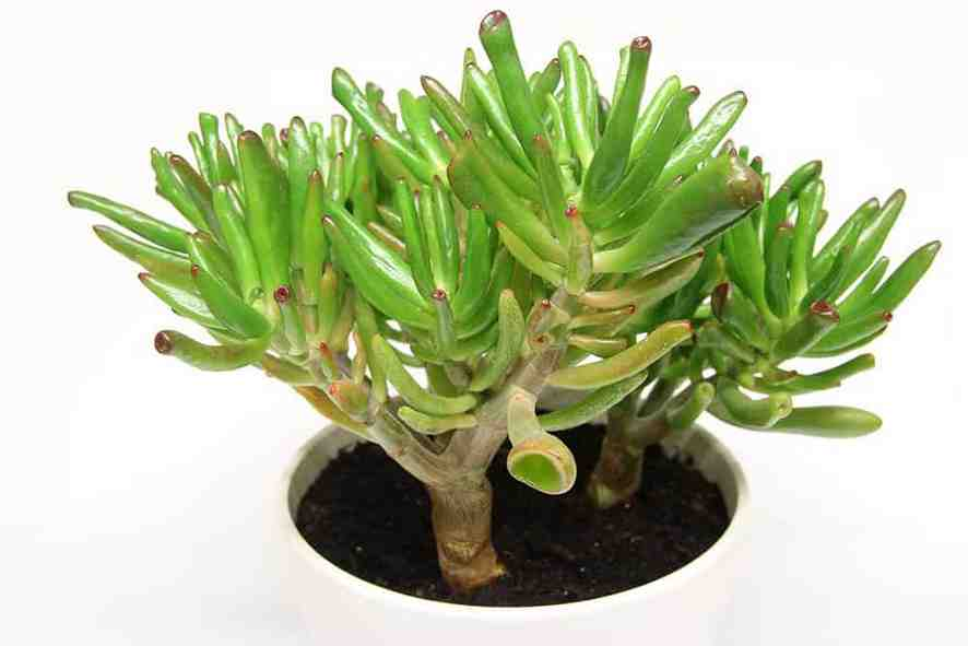 Skinny Fingers Succulent for Indoor Garden