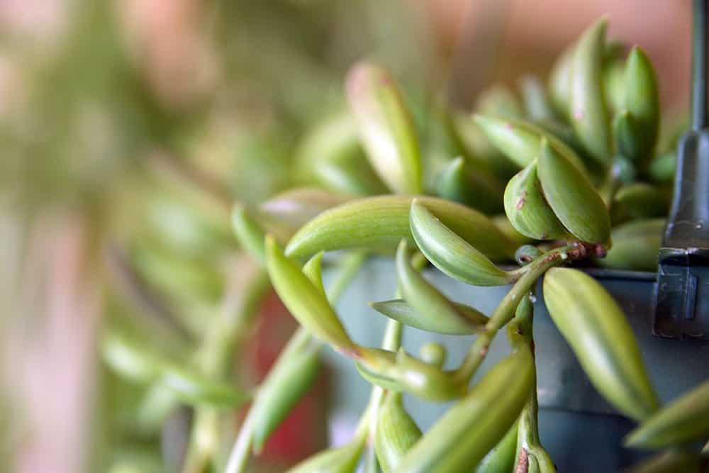 String of Bananas Succulent for Indoor Garden