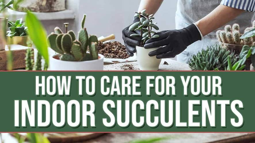 How to Care for Your Indoor Succulents