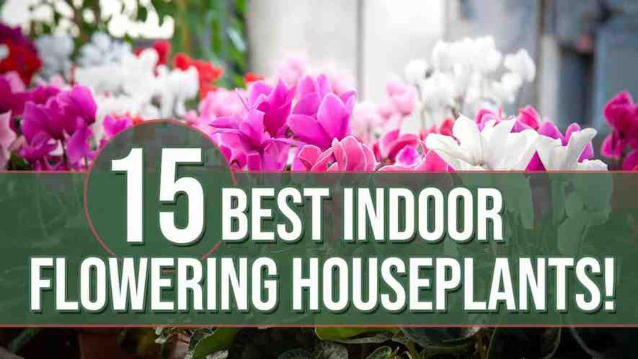 15 Best Indoor Flowering Houseplants Indoor Gardening