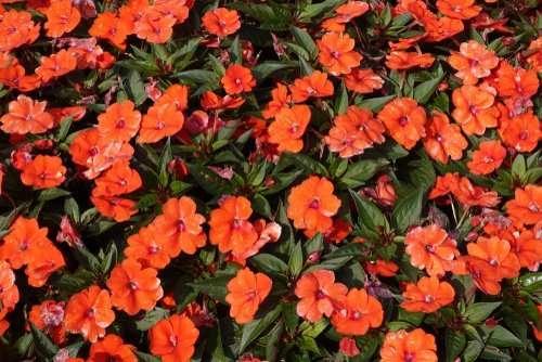 Impatiens: Best Indoor Flowering Houseplants
