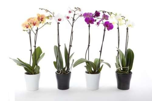 Moth Orchids: Best Indoor Flowering Houseplants