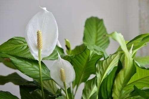 Peace Lily: Best Indoor Flowering Houseplants