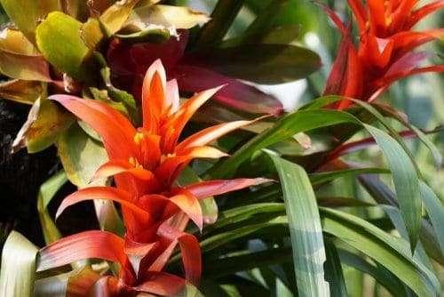 Scarlet Star: Best Indoor Flowering Houseplants