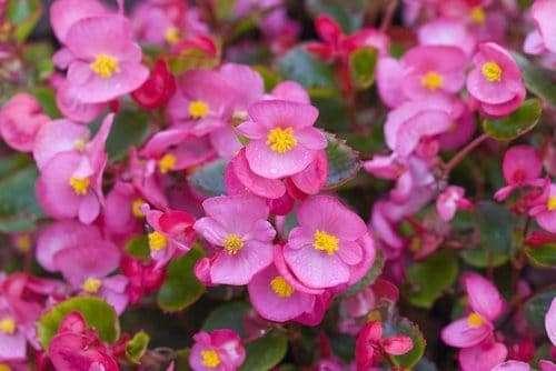 Wax Begonia: Best Indoor Flowering Houseplants