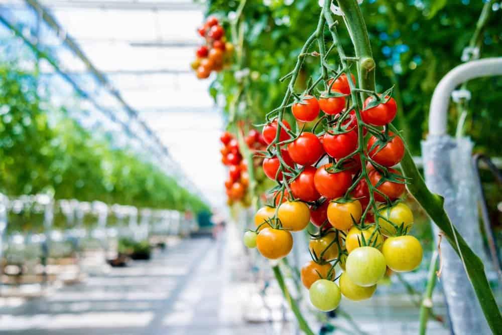 Start a Greenhouse: Fresher Vegetables