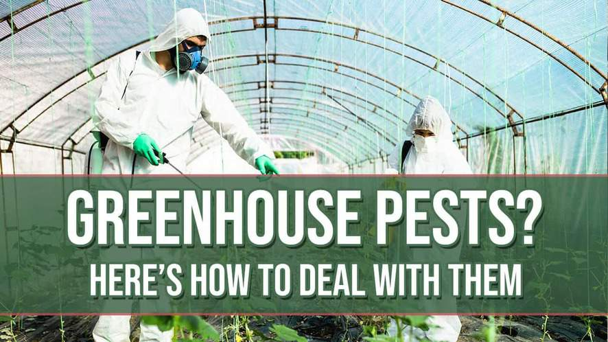 Greenhouse Pests? Here's How to Deal With Them!