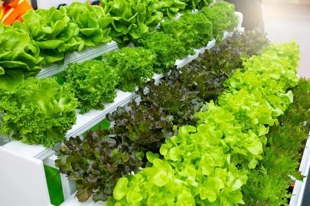 Hydroponics for Beginners - Lettuce