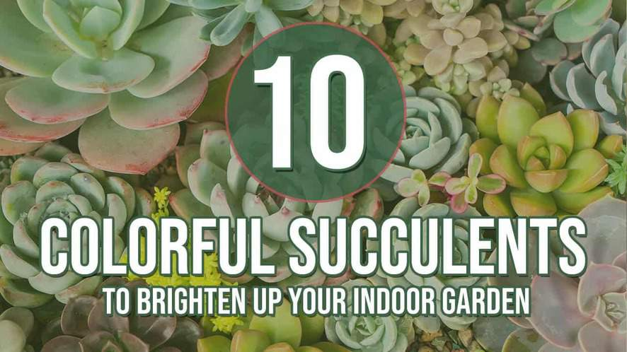 10 Colorful Succulents to Brighten up Your Indoor Garden