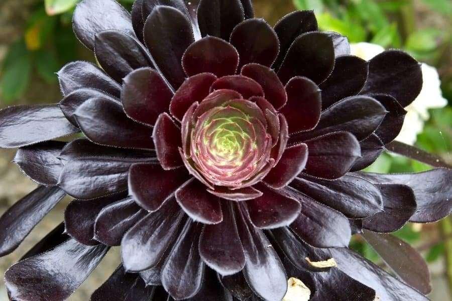 Black Tree Aeonium