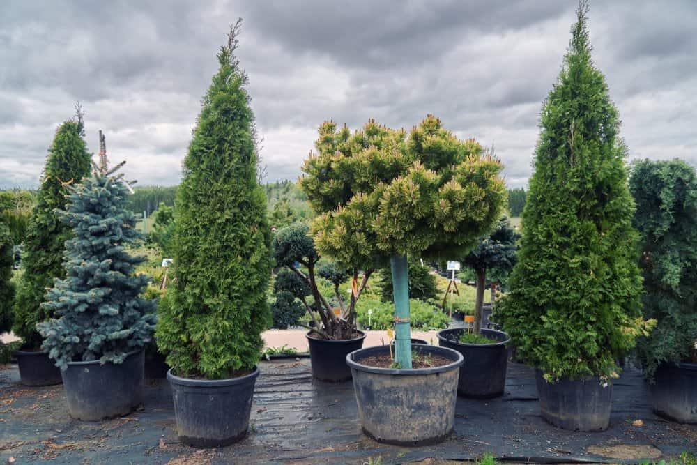 Buy a pre-grown tree