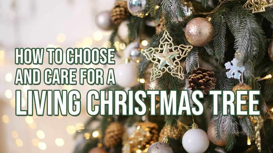 How to Choose and Care for a Living Christmas Tree