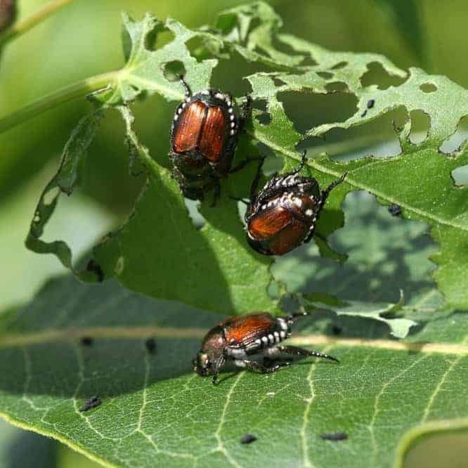 Beetles eating leaves