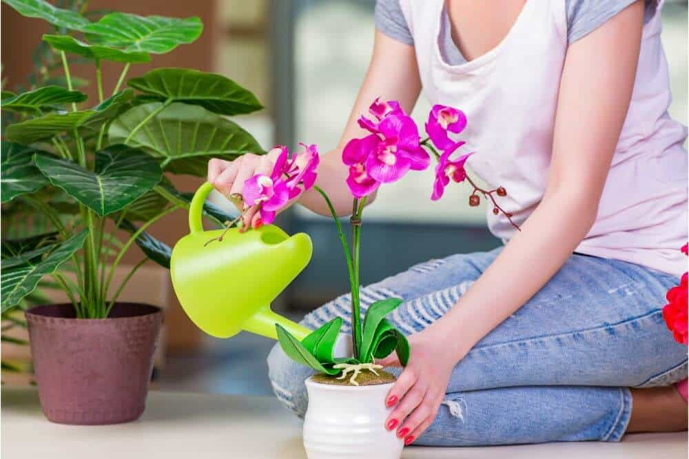 Watering Orchids
