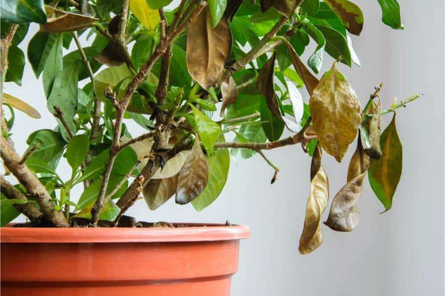 As with leaf drop, it is normal for most plants to have some older leaves turn brown