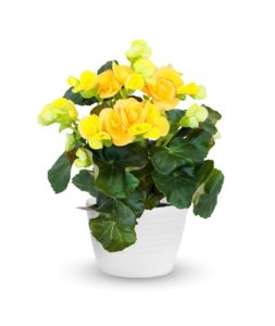 Begonia Plant for Bathroom