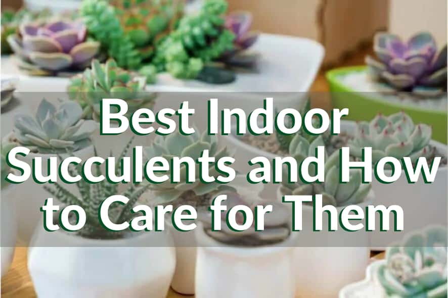 Best Indoor Succulents
