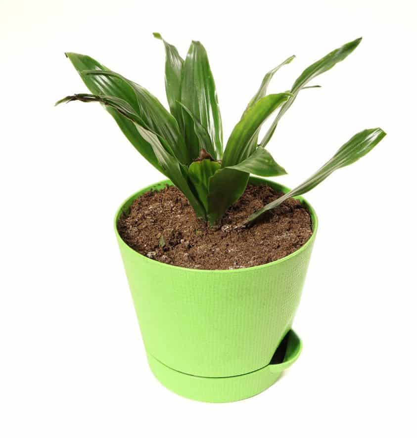 Houseplants for Low Light Areas - cast iron