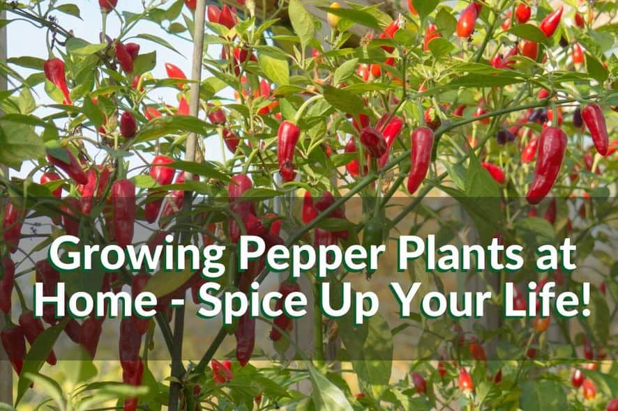 Growing Pepper Plants at Home - Spice Up Your Life!