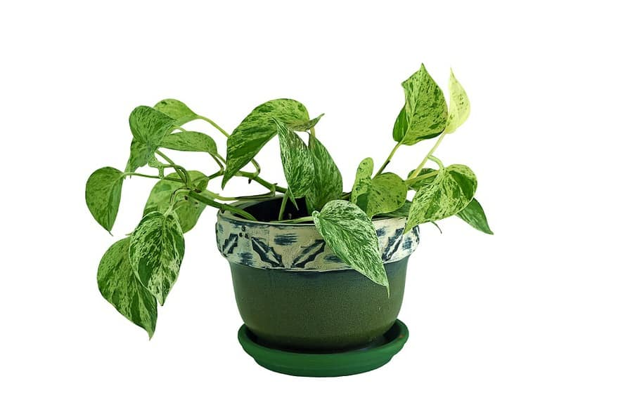 Heart-Leaf-Philodendron