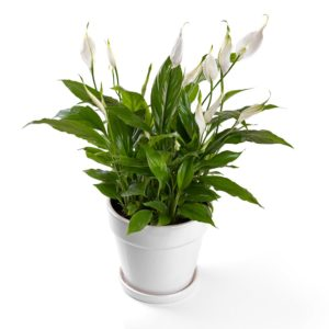 Peace Lily Bathroom Plant