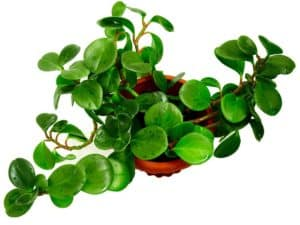 Peperomia - Best Bathroom Plant