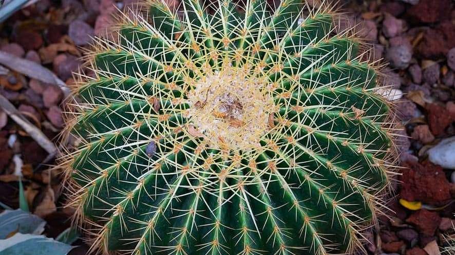 Hardy Indoor Plants - barrel cactus